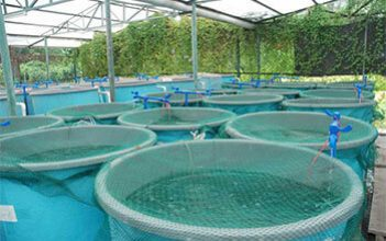 Aquaponic cannabis grower lets nature do the work
